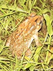 Duttaphrynus melanostictus (Black-spectacled Toad) (GeeC) Tags: duttaphrynusmelanostictus tatai duttaphrynus bufonidae anura chordata nature kohkongprovince cambodia amphibia animalia hyloidea asiancommontoad blackspectacledtoad frogstoads