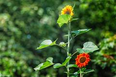 27082019-DSC_0007 (vidjanma) Tags: houffalize bokeh fleurs jardinpublic tournesols