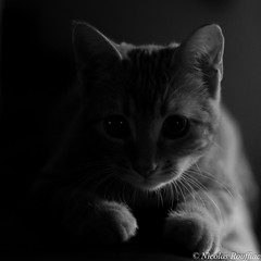 Titus (Nicolas Rouffiac) Tags: chat cat chaton kitten animalnb bw nb black white noir blanc dark sombre clair obscur cute