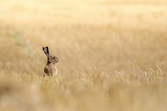Le Lièvre d'Europe ou Lièvre brun (Lepus europaeus) (G.NioncelPhotographie) Tags: le lièvre deurope ou brun lepus europaeus