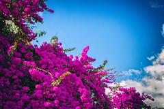... (ángel mateo) Tags: ángelmartínmateo ángelmateo cielo buganvilla nubes azul blanco fucsia magenta lisboa portugal bougainvillea sky clouds blue white fuchsia lisbon buganvílias céu nuvens branco fúcsia
