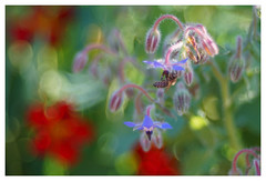 Biene & Borretsch (h.ullrich) Tags: meyergörlitz trioplan m42 natur pflanze blume blüte grün macro detail nahaufnahme bokeh bokehlicious biene borretsch