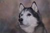 Timber (Cruzin Canines Photography) Tags: animal animals canon canoneos5ds canon5ds canine 5ds dog dogs pet pets portrait timber husky huskies alaskanhusky siberianhusky colorado coloradosprings