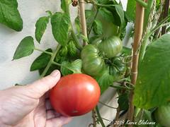August 27th, 2019 Pink brandywine tomato (karenblakeman) Tags: cavershamgarden caversham uk tomato pinkbrandywine 2019 2019pad august reading berkshire