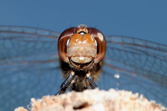 Common Darter (Sympetrum striolatum) (wayne.withers1970) Tags: small pretty bird wings fly flight flying color colorful nature natural colour colourful wild wildlife wales summer macromonday flickr dof bokeh naturephotography country countryside outside outdoors alive fauna flora canon sigma light blur black white blue brown orange fine net mesh dragonfly dark macro macromondays invertebrate bug animal insect wwt llanelli plant vegetation sky darter
