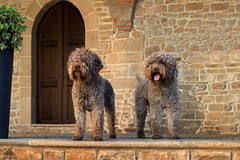 ♔ Costantino & Tobia =  Italian Beauty Champions ♔ (Xena*best friend*) Tags: chititalianchampion italianbeautychampion lagottoromagnolo lagotto retrieverdog retrievertrufflesdog snifferdog trufflesniffer piedmontitaly piemonte waterdog waterretrievingdogs greatcompanionforchildren excellentsenseofsmell clever affecionate intelligent acquaticdog attentive trufflehunter theonlybreedofdogthatisofficiallyrecognizedasspecializedintrufflehunting hypoallergeniccoats photo pedigree animals pets dogs canoneos760d digitalrebelt6s efs18135mmf3556isstm pet flickr nature gorgeous coth coth5