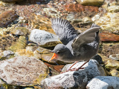 Juvenile American Dipper (alanrharris53) Tags: bird aves canada alberta waterton american dipper