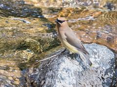 Cedar Waxwing (alanrharris53) Tags: bird aves canada alberta waterton cedar waxwing
