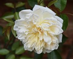 White #3 (MJ Harbey) Tags: flower rose whiterose rosa rosaceae sissinghurst sissinghurstcastlegardens nationaltrust kent cranbrook nikon d3300 nikond3300