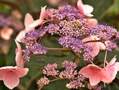 Hortensientraum in Rosa (Karabelso) Tags: hortensie teller rosa blume blüte staude panasonic lumix g81 blossom flower rose perennial plate