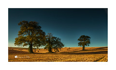 The Ballyhenry Trees (RonnieLMills 7 Million Views. Thank You All :)) Tags: trees three tres trio threesome field barley farming straw fields hay agriculture bales stubble blue skies shadows road county ireland down northern newtownards comber ballyhenry landscape photography ronnielmills