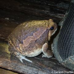 Kaloula pulchra (Asian Painted Toad) (GeeC) Tags: tatai animalia cambodia anura chordata nature kaloula kohkongprovince kaloulapulchra amphibia microhyloidea microhylidae asianpaintedfrog frogstoads narrowmouthedfrogs