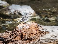 Yellow-rumped Warbler (alanrharris53) Tags: bird aves canada alberta waterton