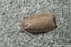 LIchen Moth (Lithosiini) (GeeC) Tags: noctuoidea animalia cambodia nature arctiinae arthropoda tatai kohkongprovince insecta lepidoptera lithosiini erebidae butterfliesmoths tigermoths