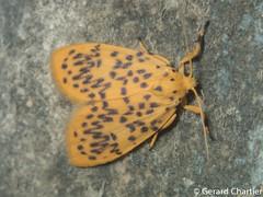 Lyclene sp. (GeeC) Tags: noctuoidea lithosiini cambodia nature lyclene arctiinae arthropoda tatai kohkongprovince insecta animalia lepidoptera erebidae butterfliesmoths tigermoths