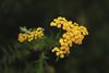 Tansy (Kim van Grieken) Tags: tansy tanacetum vulgare boerenwormkruid yellow flower forest green aster closeup