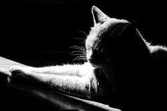 The Cat of Mystery (leodudin) Tags: petphotography lightroom dslr nikon portraiture portrait animalphotography pets pet kitten negativespace bw blackandwhite cat nikond7000 70210mm d7000