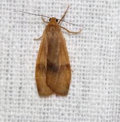 ecosystem/fauna/Lichen Moth/Eilema(Dolgoma) sp. (biodiversity western ghats(before it is gone)) Tags: erebidae arctiinae lithosiini indianmoths taxonomy:order=lepidoptera taxonomy:family=erebidae taxonomy:genus=dolgoma