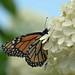 Monarch of the Hydrangea