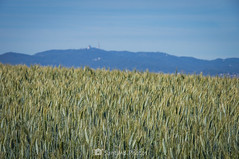 Fuera de contexto (SantiMB.Photos) Tags: 2blog 2tumblr 2ig gallecs mollet vallèsoriental vallès primavera spring campos fields trigo wheat collserola tibidabo geo:lat=4155162717 geo:lon=219302950 geotagged molletdelvalles cataluna españa