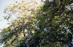 fleeting feeling (shinrinyoku) Tags: 35mm 35 film focus kodak bokeh pentax pentacon sp spotmatic spotmaticf colour multi coating caucasus russia dreamy hardwaresp hardware analogue analog atmosphere nature summer sun trees