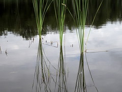 Reflected reed.......This beautiful calming mirror makes me feel in the right mood ! (gilberteplessers) Tags: