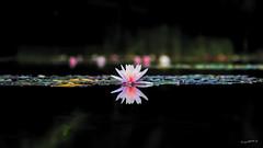 Seerosenteich - lily pond (wb.fotografie) Tags: seerosen seerose teich österreich dornbier inaturanaturschau inatura naturschau lilypond
