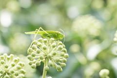 La belle verte - Green Beauty (Gisou68Fr) Tags: sauterelle lierre grashopper ivy jardin garden vert green insecte instect tettigoniaviridissima