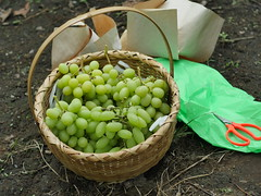 塚原山フルーツ農場 (Tsukahara-yama fruit farm) (Paul_ (shin.ogata)) Tags: 山梨 yamanashi 塚原山 tsukaharayama フルーツ狩り fruit picking ぶどう grape muscat