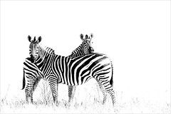 High key zebras (He Ro.) Tags: botswana zebra savutimarsh chobe chobenationalpark savanne blackwhite bw animal wildlife outdoors nature safari botsuana southernafrica burchellszebra säugetier wilderness coth coth5 ngc npc