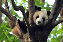 Chengdu Research Base of Giant Panda Breeding | Chengdu (成都市), Sichuan Province, China (Ping Timeout) Tags: summer morning relax rest sleep branch tree chengdu china sichuan province giant panda research base breeding 成都 成都市 people republic 西京 四川省 capital 中华人民共和国 national park 中国 1987 chenghua district endangered species protect conservation 大熊猫 bear native bamboo outdoor black white dà xióng māo ailuropoda melanoleuca telephoto close up