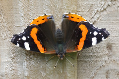 Red Admiral (Treflyn) Tags: red admiral butterfly wild wildlife fence back garden earley reading berkshire uk