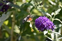 Tholen (Omroep Zeeland) Tags: kolibrievlinder vlinder kolibrie vlinderstruik