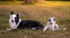 Uncle Bandit (Rainfire Photography) Tags: dogs bordercollies puppy family nikon d850