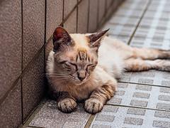 相島の猫 (S.R.G - msucoo93) Tags: 日本 九州 福岡 新宮 相島 貓 猫島 gx8 sigma56mmf14