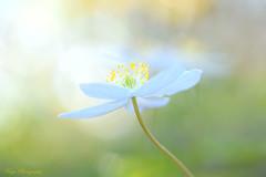 Colour and Light... (Maria Godfrida) Tags: smileonsaturday prettyinpastel colours light closeup blue green nature flowers flora bokeh dreamy challengeonflickr floracloseup cof078 cof078babe cof078mark cof078dmnq