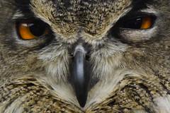 mirada (gabrielg761) Tags: aves rapaces mirada inteligencia tranquilidad pajaros naturaleza