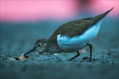 Flussuferläufer (Common sandpiper) (tzim76) Tags: flussuferläufer actitis hypoleucos common sandpiper wildlife nature outdoor morning pink morgengrauen canon sachsen saxony