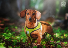 Picture of the Day (Keshet Kennels & Rescue) Tags: adoption dog dogs canine ottawa ontario canada keshet large breed animal animals kennel rescue pet pets field nature summer photography dachshund vest harness tan red cute forest leaves small
