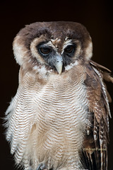 The Brown Wood Owl (Strix leptogrammica) (Adrien Farese) Tags: the brown wood owl strix leptogrammica chouette leptogramme