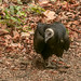 juvenile turkey vulture, was scraping beneath the arbutus leaves to find insects etc on lichen covered branches.