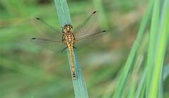 Black Darter Dragonfly - female      (Sympetrum danae) (nick.linda) Tags: scotland dragonflies handheld oneshot odonata wildandfree sympetrumdanae blackdarterdragonfly canon7dmkii femaleblackdarterdragonfly canon100400mkll