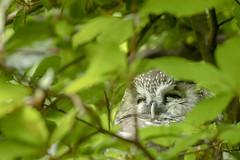 Chevêchette d'Europe (Glaucidium passerinum) (G.NioncelPhotographie) Tags: chevêchette deurope glaucidium passerinum