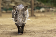 47725660942_14f2f684b8_o (DenFIFTY) Tags: südafrika unterkunft wildschwein marlothpark mpumalanga