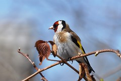 Goldfinch / Щегол черноголовый / Carduelis carduelis (SerenitySS) Tags: spring april goldfinch bird animal fringillidae carduelis passeriformes aves beautiful stunning wonderful natureinfocusgroup avianexcellence lovely1 alittlebeauty coth5 specanimal gallery fantasticnature excellent