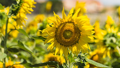 Sunflower (hjuengst) Tags: sonnenblume sunflower provence hauteprovence france frankreich blumenfeld flowerfield flower blume