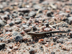About to run (Joakim Billebo) Tags: bokeh gravel hiding sweden lizard närke shallow fujifilm animal pathway closeup tiny xt2 photography tinylizard xf23mm shallowdepthoffield xf23 summer road hallsberg