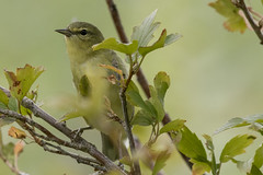 Tennessee warbler (Leiothlypis peregrina) (octothorpe enthusiast) Tags: bird saskatoon saskatchewan meewasin gabrieldumontpark leiothlypisperegrina tennesseewarbler