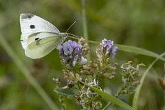 Cabbage white butterfly (octothorpe enthusiast) Tags: bird saskatoon saskatchewan meewasin gabrieldumontpark