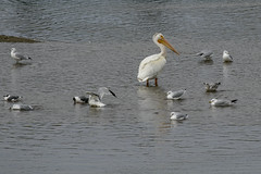 American white pelican among the gulls (octothorpe enthusiast) Tags: bird saskatoon saskatchewan meewasin gabrieldumontpark americanwhitepelican pelecanuserythrorhynchos